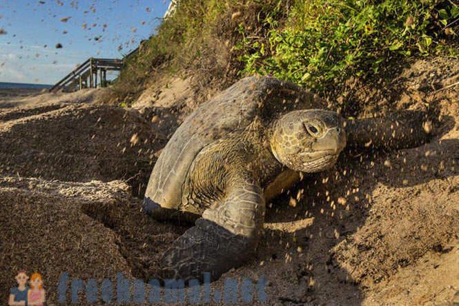 potraga za kornjačom plažom